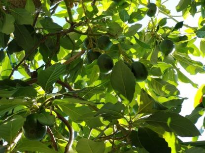 Avokado Meyvesi Dalında